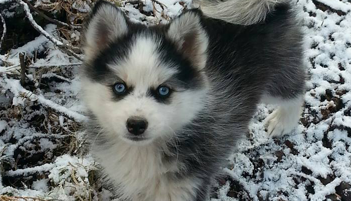 Blue Eyed Puppy Full - Arctic Design Pomskies