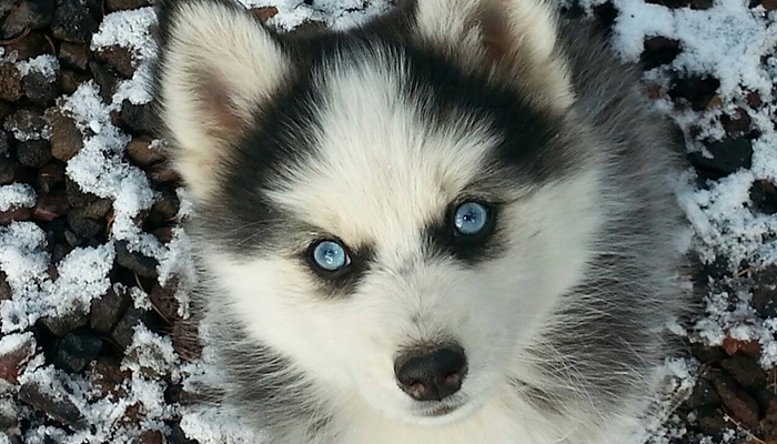 Blue Eyed Puppy - Arctic Design Pomskies