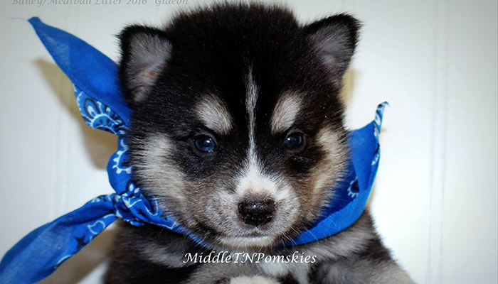 Middle TN Pomskies