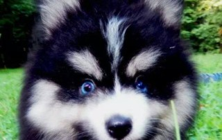 Blue Eyed Black and White Pomsky