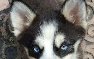 Blue Eyed Pomsky From Vaca Valley Pomskies