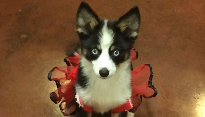 Pomsky Dressed Up - Northern California Pomskies