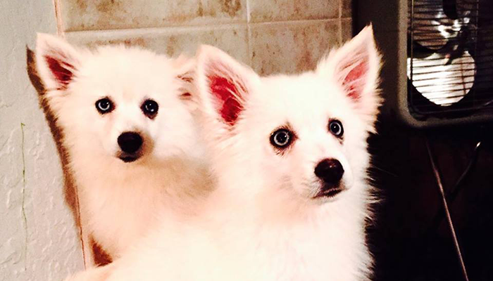Two White Pomskies