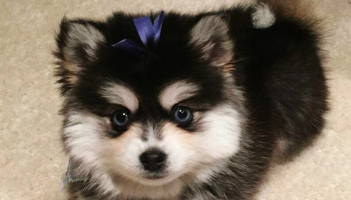 Girl Puppy - Rose Peek Pomskies