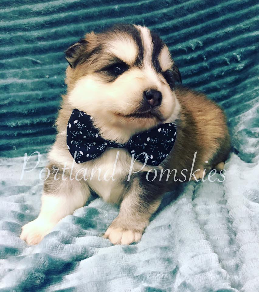Pomsky Puppy With Black Tie