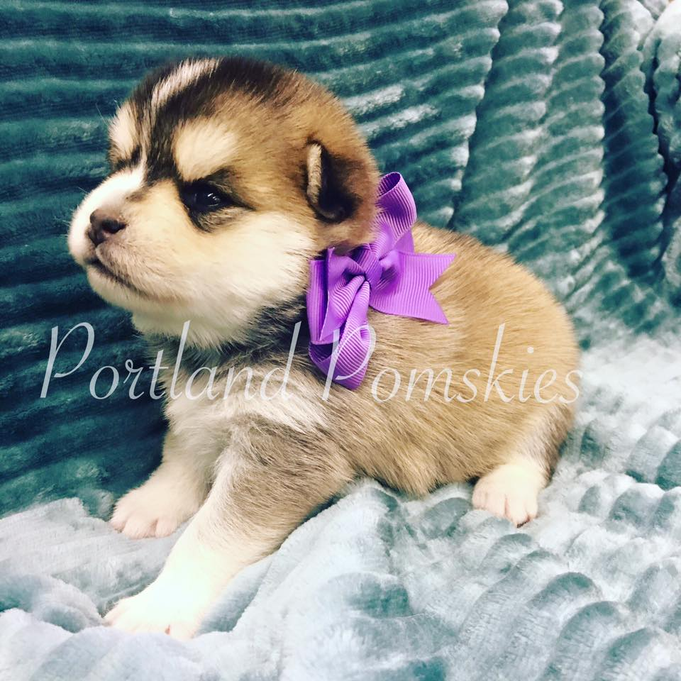 Tan Female Pomsky Puppy