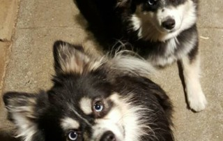 Two Black and White Pomskies