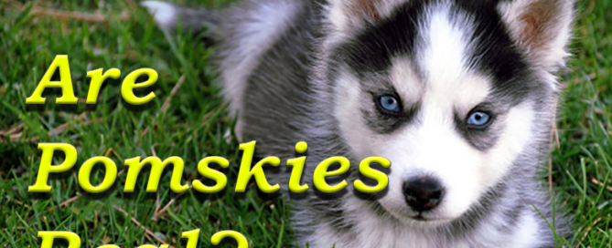 Are Pomskies Real?