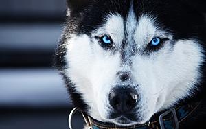 Siberian Husky Features