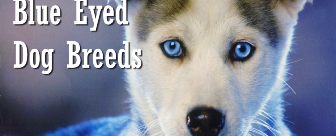 Information On Blue Eyed Dog Breeds