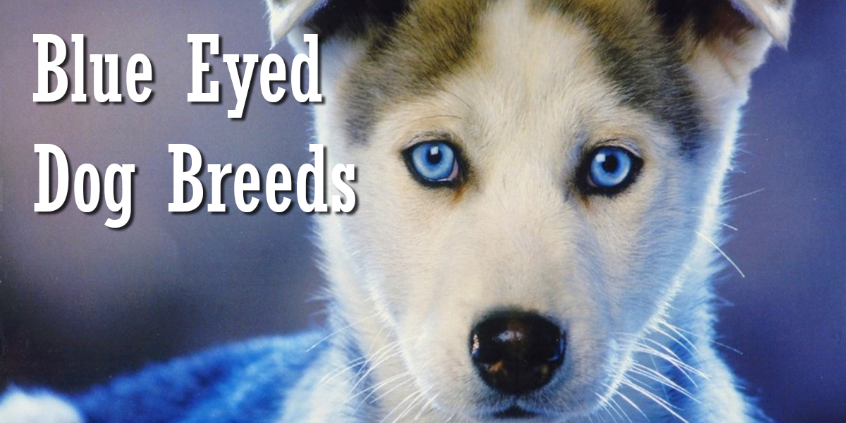 What Breeds Of Dog Have The Gene For Blue Eyes