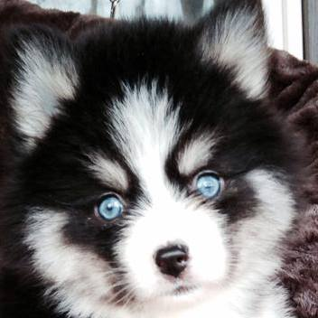 Pomsky With Blue Eyes