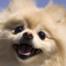 Pomeranian Information