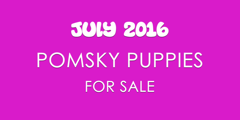 Pomsky Puppies For Sale For July 2016