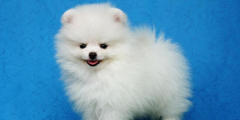 White Pomeranian - Pomsky Pals