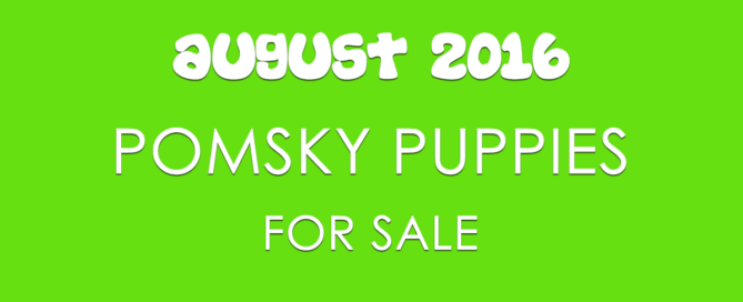 Here is a list of Pomsky puppies for sale for July 2016. Check to see how to get on Pomsky breeder's waiting list for available puppies.