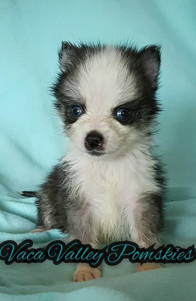 Smaller Pomsky Puppy Available