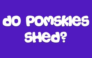 Do Pomskies Shed?