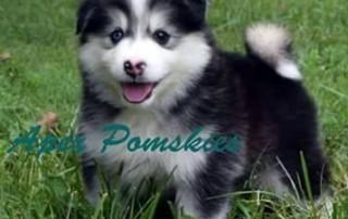 Immediate September 2016 Pomsky Available