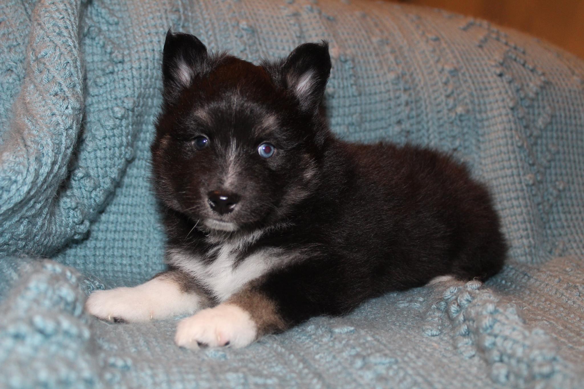 Justin - Black Tri Male Pomsky Puppy