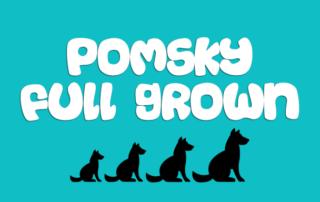 Pomsky Full Grown