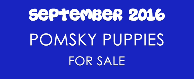 Pomsky Puppies For Sale For September 2016