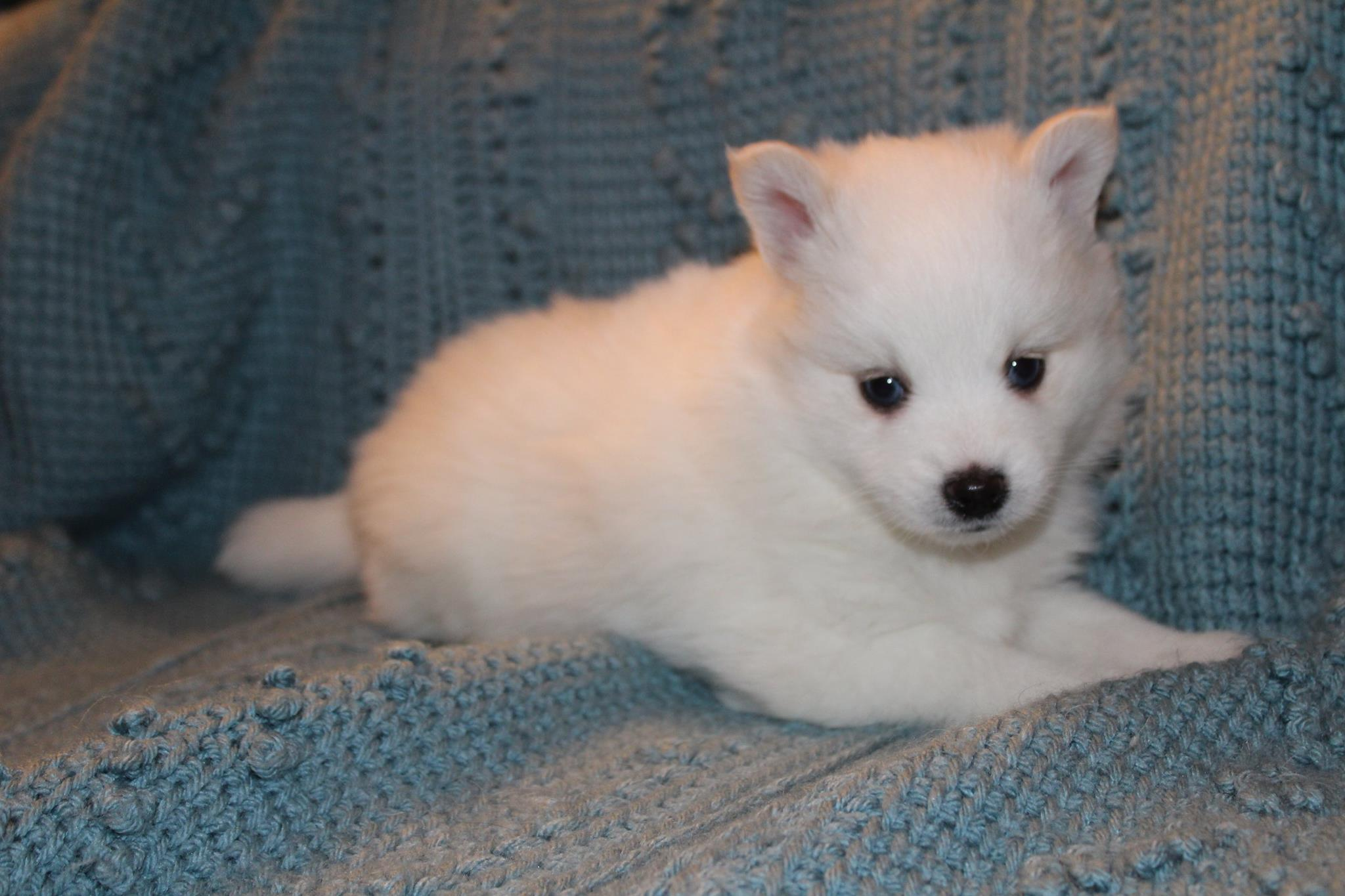 Simone - White Female Pomsky Puppy