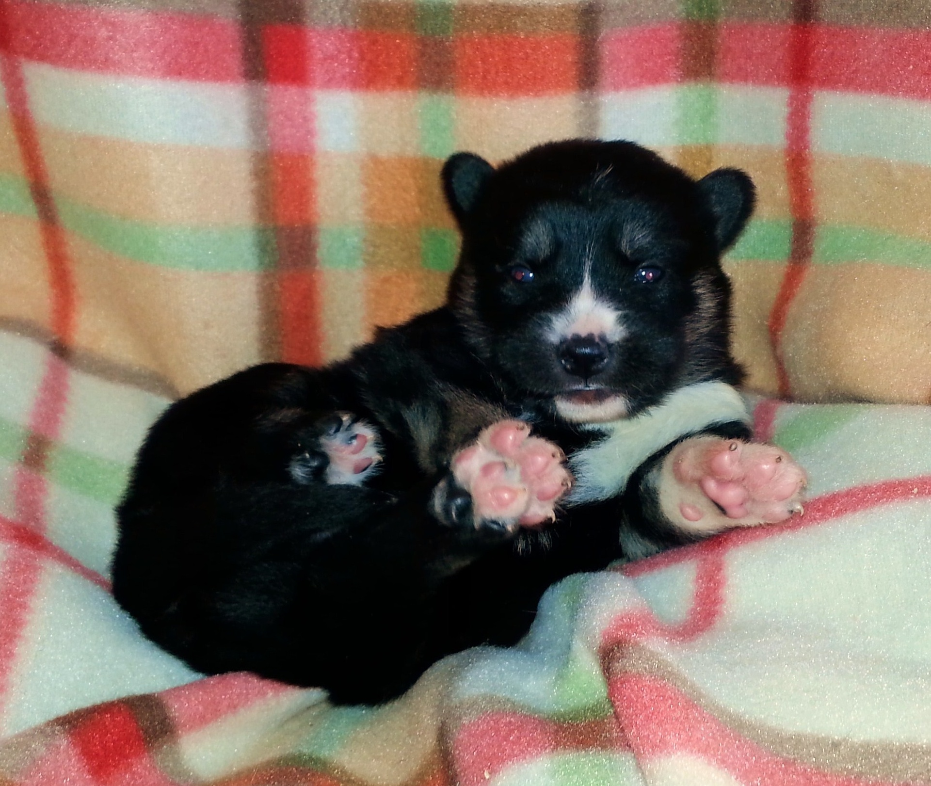Female - Black and Tan (dilute)