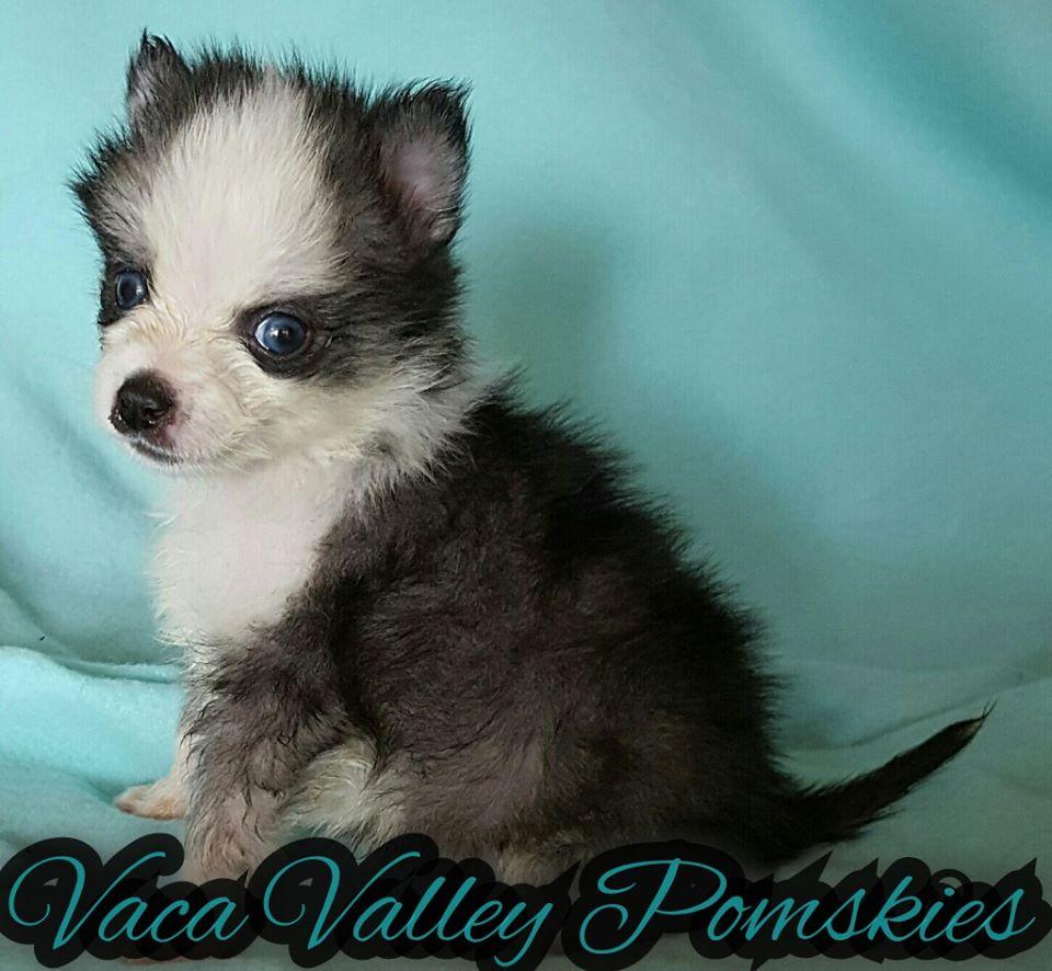 Vaca Valley Pomskies Puppy Available