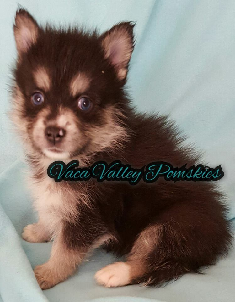 Ace - Male Pomsky Puppy October 2016