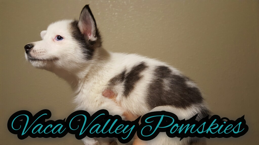 Aurora - Female Pomsky Puppy October 2016