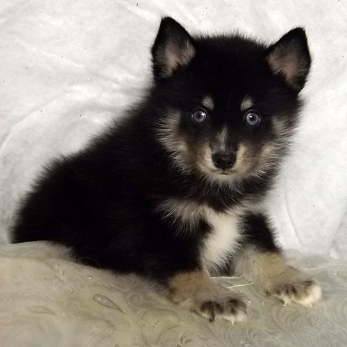 Black Pomsky With Brown Paws