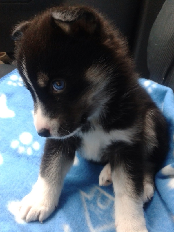 Black Pomsky With Blue Eyes