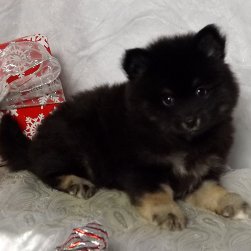 Black Pomsky With Tan