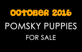 Pomsky Puppies For Sale October 2016