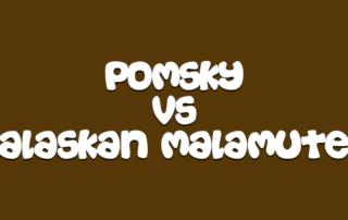 Pomsky vs Alaskan Malamute