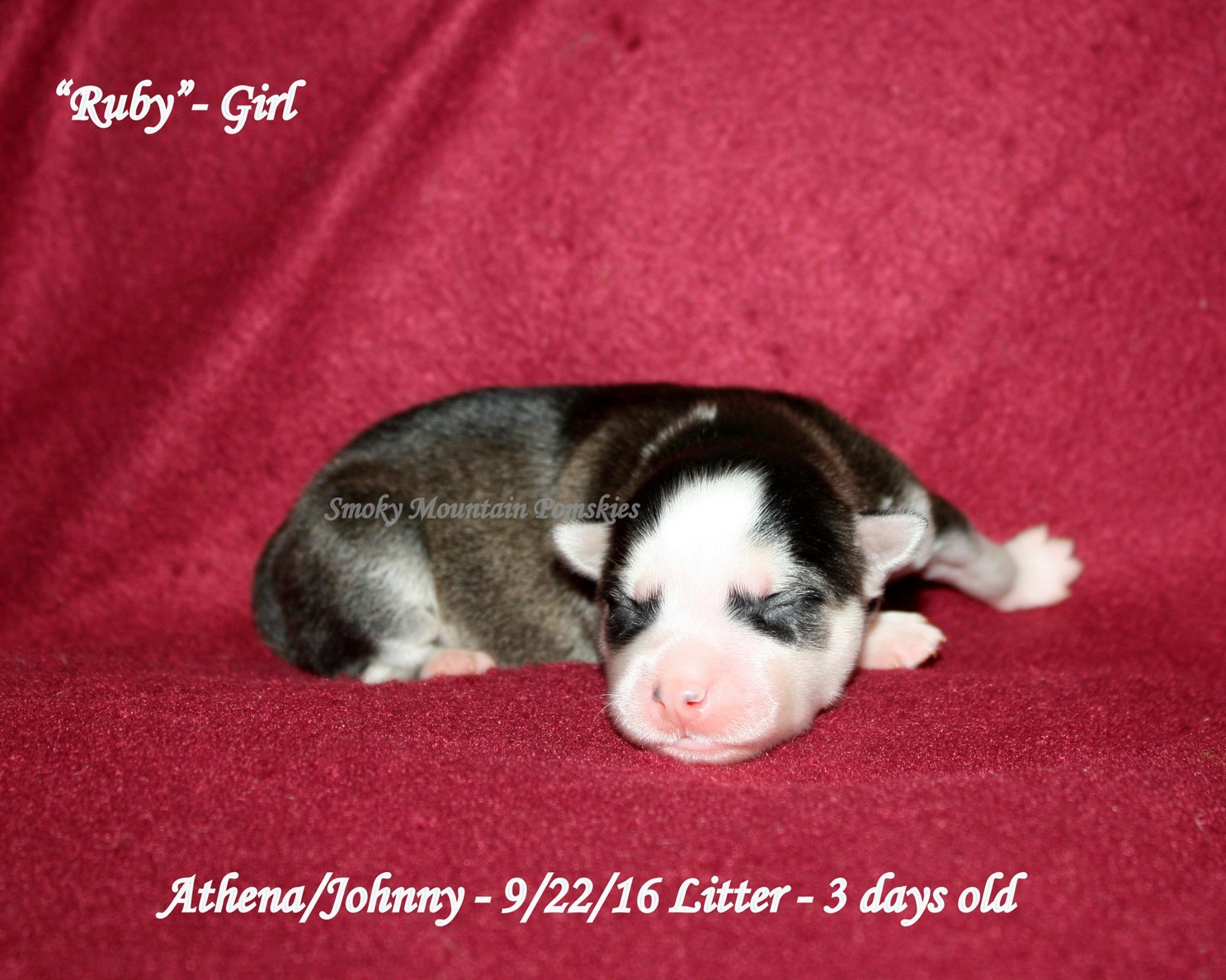 Ruby - Female Pomsky Puppy October 2016