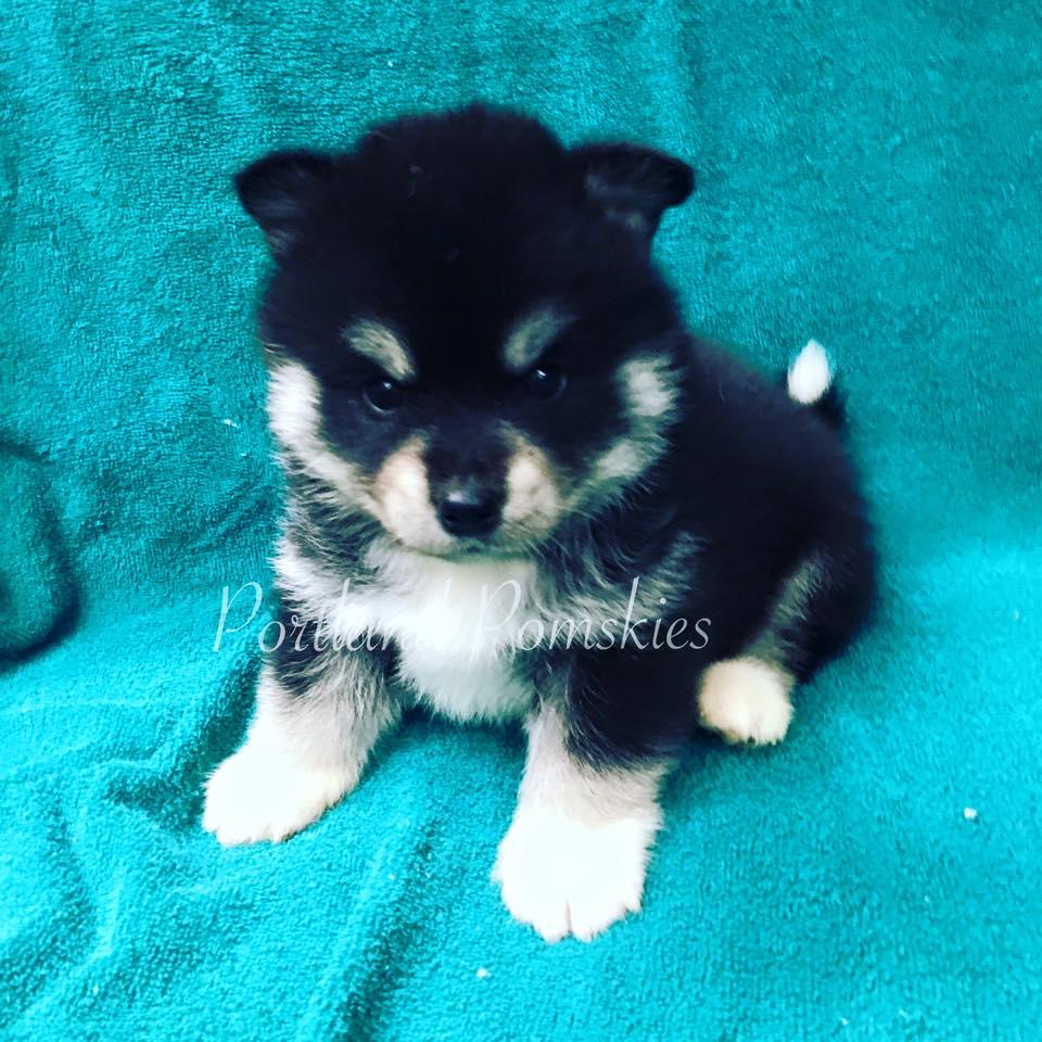 Black White Male Pomsky Puppy