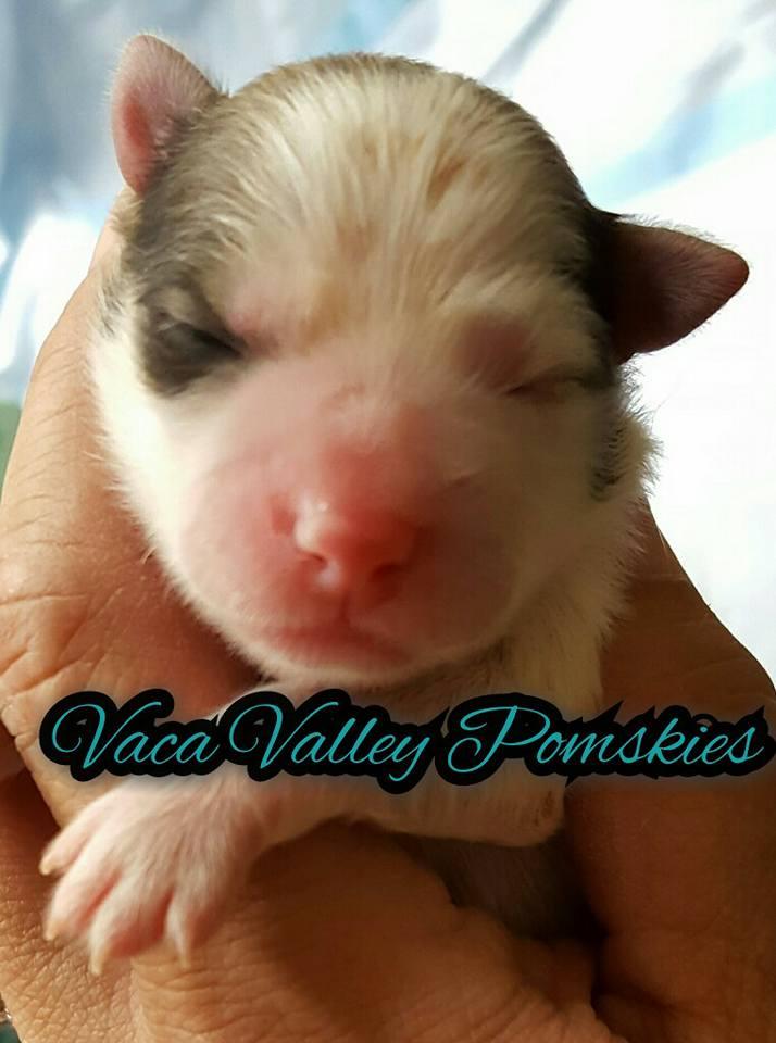 Girl Pomsky Puppy