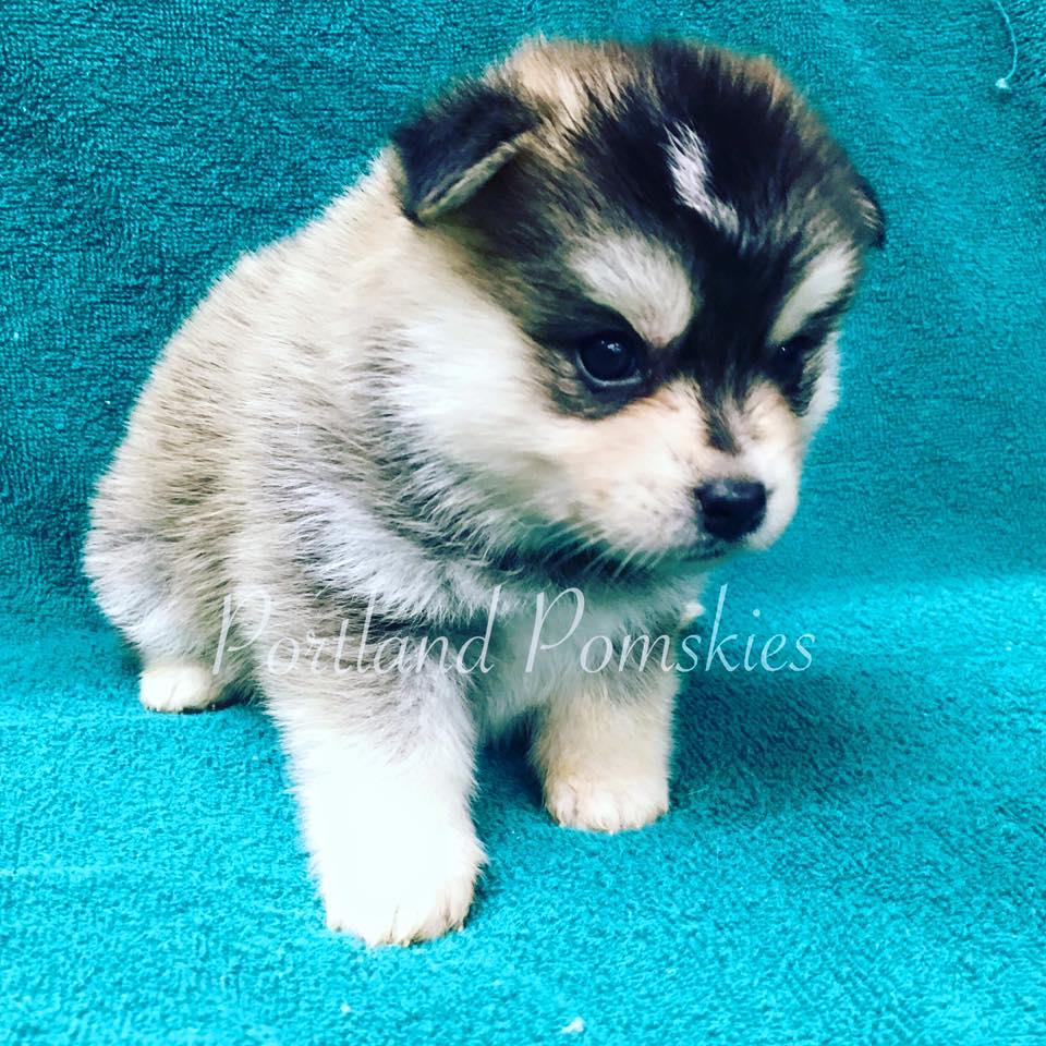 Grey White Female Pomsky Puppy