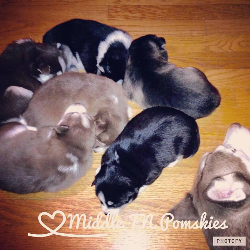 Middle TN Pomskies - Pomsky Puppy November 2016