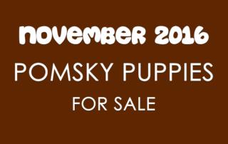 Pomsky Puppies For Sale - November 2016