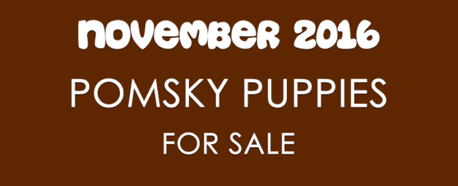 Pomsky Puppies For Sale - November 2016