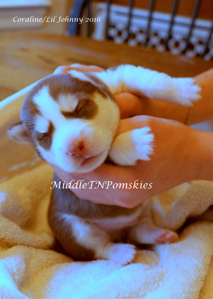 Pomsky Puppy November 2016