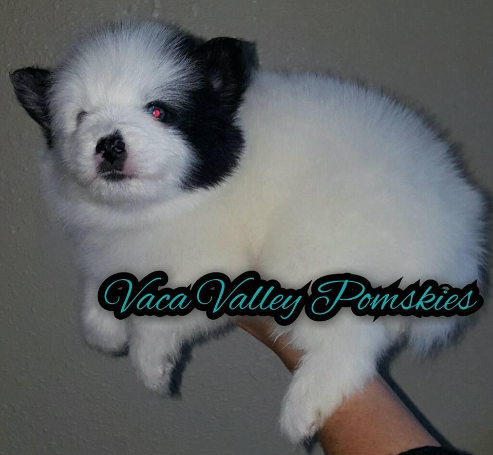Pomsky Puppy Beau