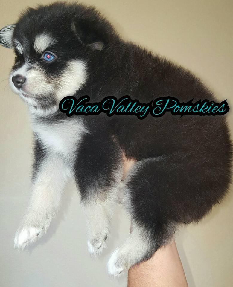 Pomsky Puppy Bliss