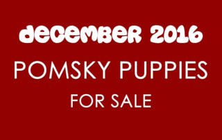 Pomsky Puppies For Sale - December 2016