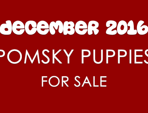 Pomsky Puppies For Sale – December 2016