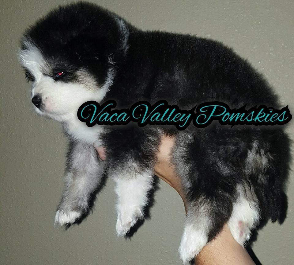 Pomsky Puppies For Sale - December 2016 - Pomsky Pals