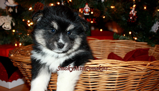 Pomsky of The Month December 2016